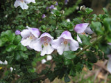 3 Alpine Mint Bushes / Prostanthera Cuneata 15-20cm Plants in 2 Litre Pots