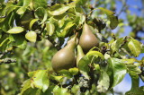 Conference Pear Tree 4-5ft 5L Pot Self-Fertile & Heavy Cropper, Ready to Fruit