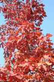 1 Red Oak Tree 2ft Tall 2L Pot Quercus Rubra Hedging Plant,Bright Autumn Colours