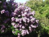 3 Branched Lilac Trees 2-3ft Tall Shrub, Fragant Purple Flowers, Syringa Vulgaris