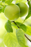 Cambridge Gage Plum Tree 4-5ft, in a 5L Pot, Self-Fertile,Green Gage