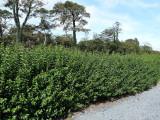 10 Green Privet Plants 2-3ft,Evergreen Hedging,Grow a Quick,Dense Hedge,2L Pots