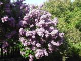 Branched Lilac Tree 2-3ft Tall Shrub, Fragant Purple Flowers, Syringa Vulgaris