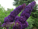 3 Buddleia davidii 'Black Knight' 1-2ft tall in 2L pot Buddleja Butterfly Bush