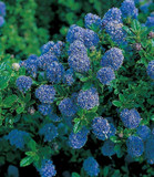 Clifornian lilac / Ceanothus 'Blue Mound' 20-25cm Tall In 1.5L Pot