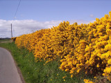 100 Gorse Hedging Bush,Prickly Furze Plants,Fragrant Yellow Whin Evergreen Hedge