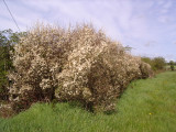 1 Blackthorn Hedging 1-2ft, Prunus Spinosa, In 1L Pot  Native Sloe Berry Hedge