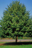 Greenspire Lime / Tilia Cordata 'Greenspire' 3ft Tall In 5L Pot