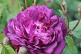 Cardinal de Richelieu Gallica, With Fragrant, Deep Purple Double Flowers