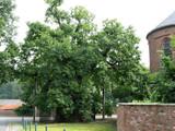 English Oak / Quercus Robur 2-3ft Tall In a 2L Pot, A Native Wild Tree