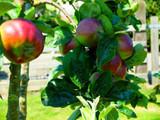 Ecklinville Maiden Apple Tree 4-5ft tall in a 5L Pot, Sour,Sharp taste.