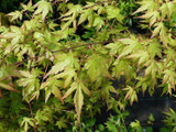 Japanese Maple / Acer Palmatum 2-3ft tall in 2 Litre Pot