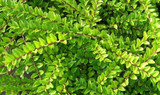 5 Lonicera Nitida  Hedging Box Honeysuckle Tree Plants, 20cm Tall Potted