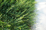 33 Lonicera Nitida 20cm Tall In 9cm Pots Hedging Box Honeysuckle Tree Plants