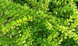 1 Lonicera Nitida  Hedging Box Honeysuckle Tree Plant, 20cm Tall Potted
