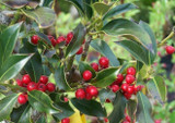 50 Holly 'JC Van Tol' Plants / Ilex aquifolium 'JC van Tol' 20-30cm in 9cm Pots