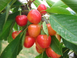 Bigarreau Napoleon Cherry Tree 4-5ft 5L Pot, Red-Flushed, Sweet & Juicy Cherries