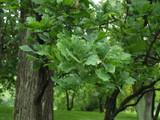 Quercus Robur 'Fastigatia' / English Oak 'Fastigatia'40-60cm Tall In a 12cm Pot