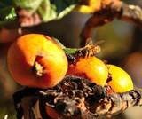 Medlar Nottingham 4-5ft Tree in 5L Pot, Ready to Fruit,Self-Fertile,Good For Jam