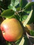 Bramley's Seedling Apple Tree 4-5ft, 5L Pot, Ready to Fruit, Popular Cooker