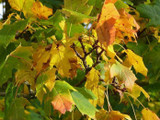 1 Norway Maple Tree, 3ft+ in 1L Pot Acer Platanoides, Stunning Autumn Colours.