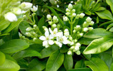 3 Mexican Orange Blossom Plants / Choisya 'Ternata' 20cm in 2L Pots