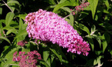 3 Buddleia davidii 'Pink Delight'1-2ft tall in 2L Pots Buddleja Butterfly Bushes