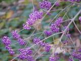 3 Callicarpa Bodinieri var Giraldii 'Profusion' Plants 15-20cm Tall in a 2L Pots
