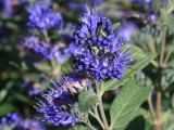 'Heavenly Blue' Caryopteris Clandonensis. In a 2 Litre Pot 20-30cm Tall