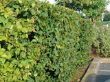 10 Hornbeam 2-3ft Hedging Plants, In 1L Pots Carpinus Betulus Trees.Winter Cover