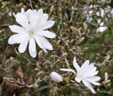 Magnolia 'Stellata' / Star Magnolia in 2L pot 1-2ft tall, Lovely White Flowers
