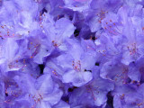 'Blue Diamond' Rhododendron 15-20cm, In 2 litre Pot  With  Violet-Blue Flowers