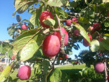 Big Juicy Victoria Plum Tree 4-5ft Tall In 5LPot, Ready to Fruit, Self Fertile