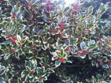 3 'Golden King' Holly Plants /Ilex aquifolium 20-30cm, 2L Pots Excellent Hedging