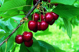 'Lapins' Cherry Tree 4-5ft in a 5L Pot  Self-Fertile & Ready to Fruit, Heavy Cropper