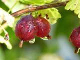 1 Red Gooseberry Plant / Uva Crispa 'Hinnonmaki Red' In 2L Pot, 2-3ft Tall