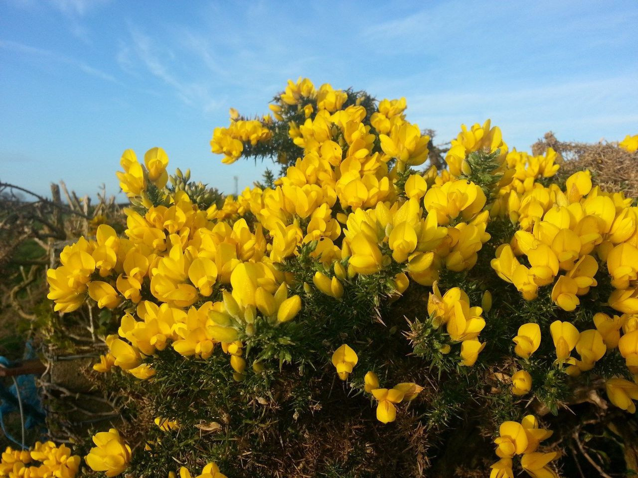 1 Gorse Hedging Bushprickly Furze Plantfragrant Yellow Whin