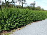 3 Green Privet Hedging Plants Ligustrum Hedge 40-60cm,Dense Evergreen,Big Pots