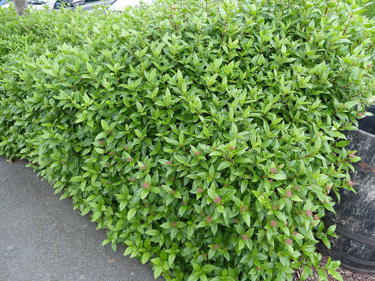 10 Laurustinus Viburnum Tinus 15 25cm In 9cm Pots Fast Growing Evergreen Hedging Plants
