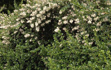 10 Escallonia 'Apple Blossom' Hedging Plants Evergreen