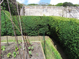 25 Common Box / Buxus Semper.  15-20cm Hedging Plants