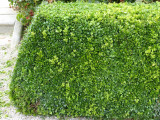 15 Common Box / Buxus Sempervirens 15-20cm Tall Evergreen Hedging Plants In 9cm Pots