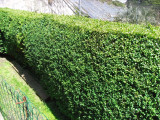 50 Common Box / Buxus Sempervirens 15-20cm Tall Evergreen Hedging Plants In 9cm Pots