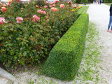 100 Common Box / Buxus Semper.  15-20cm Hedging Plants