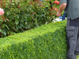 10 Common Box / Buxus Sempervirens 15-20cm Tall Evergreen Hedging Plants In 9cm Pots