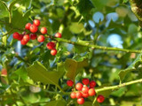 50 Common Holly Hedging Evergreen Plants, Ilex aquifolium 25-35cm in P9 Pots