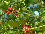 25 Common Holly Hedging Evergreen Plants, Ilex aquifolium 25-35cm in P9 Pots