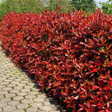 25 Photinia Red Robin Hedging Plants 20-30cm Bushy Hedge Shrubs