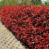 15 Photinia Red Robin Hedging Plants 20-30cm Bushy Hedge Shrubs