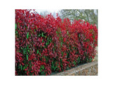 100 Photinia Red Robin Hedging Plants 30-40cm Bushy Hedge Shrubs